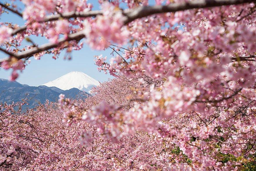 Japonya'da Sakura Ağaçları - Kiraz Çiçekleri
